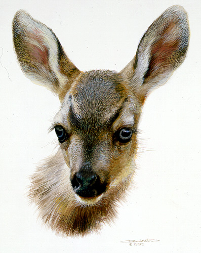 Mule Deer Fawn by Carl Brenders