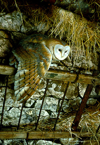 Mysterious Visitor – Barn Owl by Carl Brenders