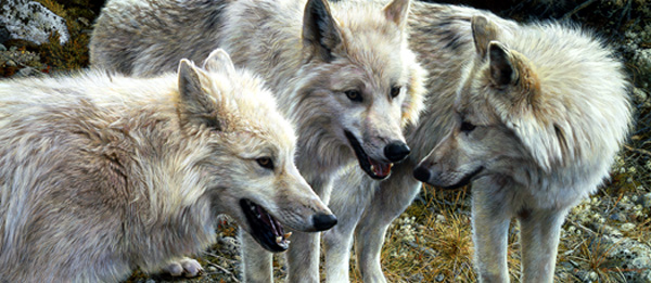 Tundra Summit – Arctic Wolves by Carl Brenders