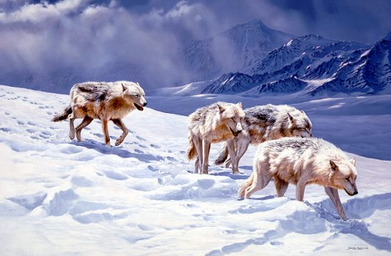 1Wildlife – Racing the Storm – Arctic Wolves by John Seerey-Lester