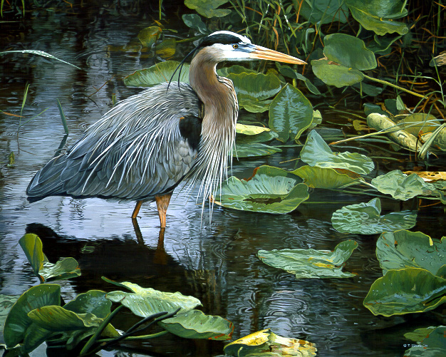 After The Rains – Grt. Blue Heron by Terry Isaac