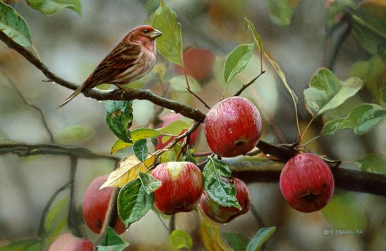 Appletime – Purple Finch by Terry Isaac