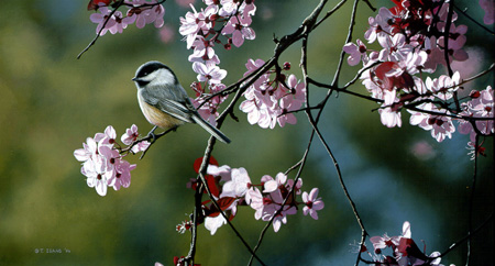Chickadee and Plum Blossoms by Terry Isaac
