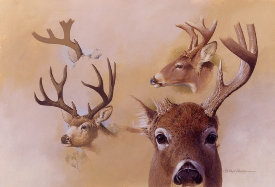 Deer Studies by Rod Lawrence