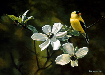 Goldfinch & Dogwood Blossoms  by Terry Isaac