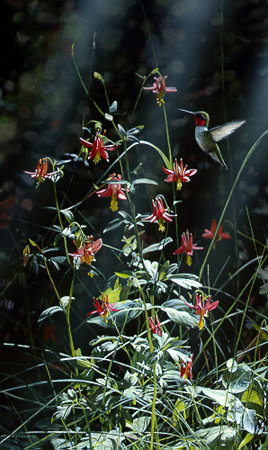 Grace Notes – Ruby Throated Hummingbird by Terry Isaac