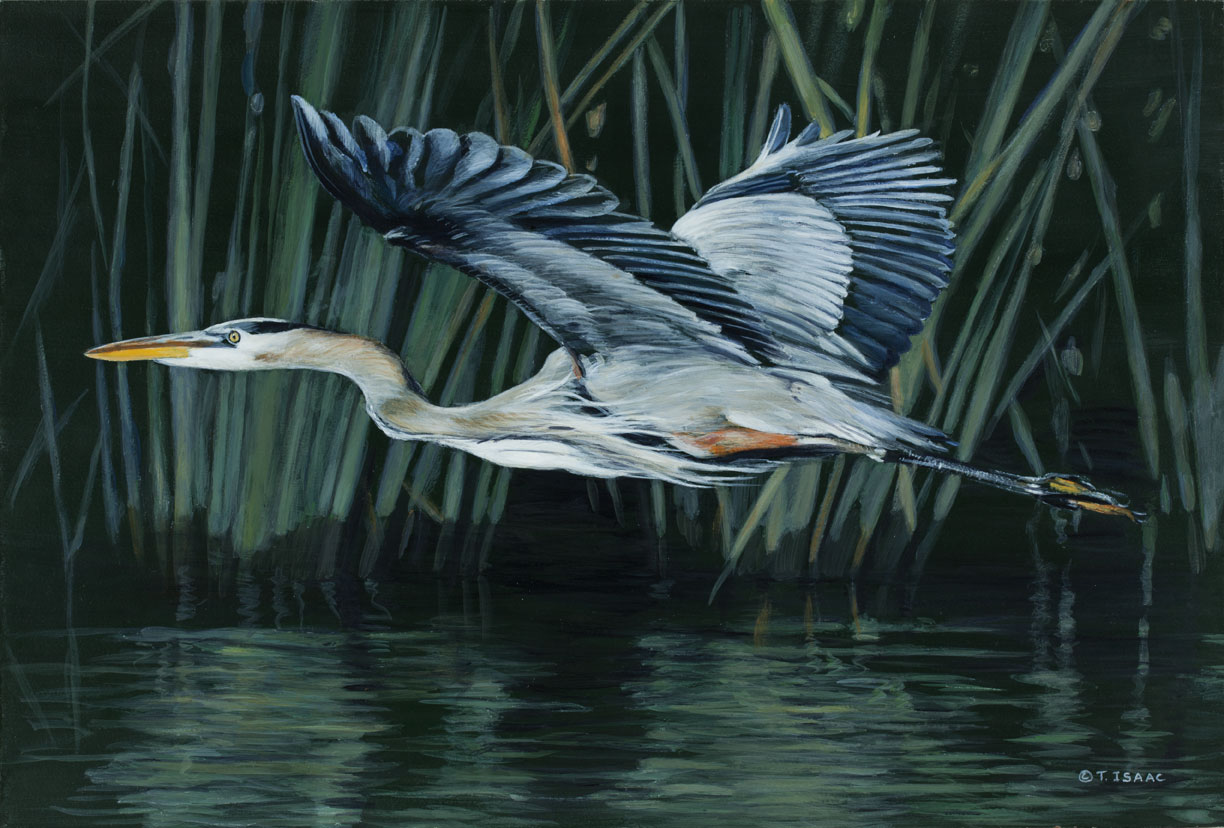 Great Blue Heron by Terry Isaac (2)