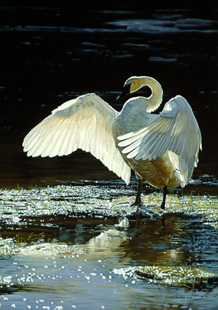 Into The Light – Trumpeter Swan by Terry Isaac