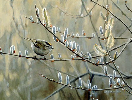 Kinglet and Pussywillow  by Terry Isaac