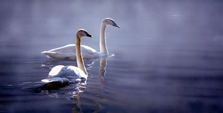Light and Mist – Trumpeter Swans by Terry Isaac