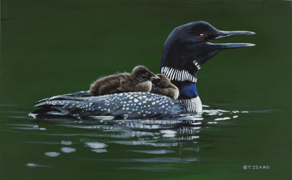 Loon Mom and Chicks by Terry Isaac
