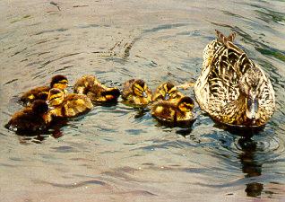 Mallards by Dino Paravano