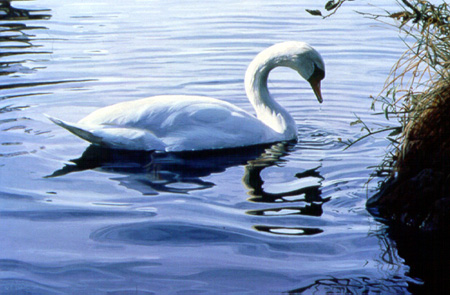 Meditation – Mute Swan by Terry Isaac