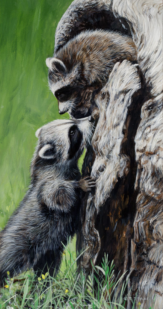 Nose to Nose – Racoons by Terry Isaac