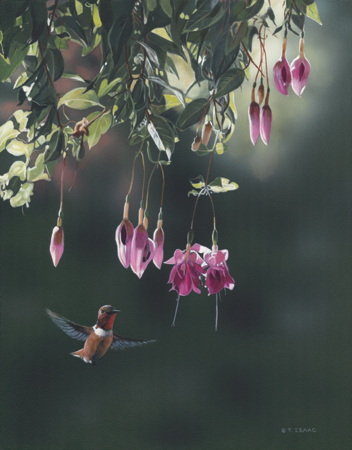 Rufous and Fuchsia by Terry Isaac