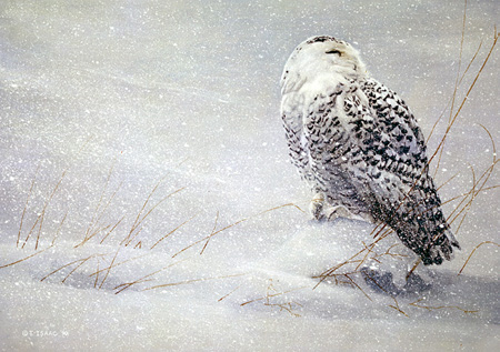Snowy Owl Study by Terry Isaac