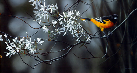 Spring Return – Baltimore Oriole by Terry Isaac