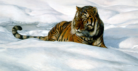 Stripes On Snow – Siberian Tiger by Terry Isaac