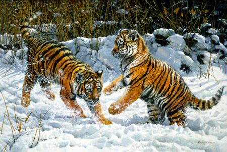 Tiger Cubs Playing by Matthew Hillier