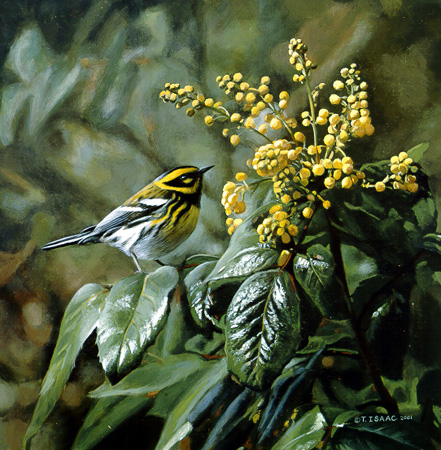 Townsend Warbler & Oregon Grapes  by Terry Isaac