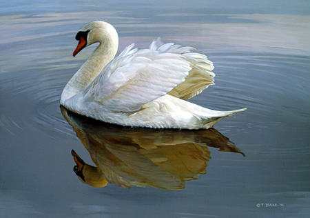 Water Ballet – Mute Swan by Terry Isaac