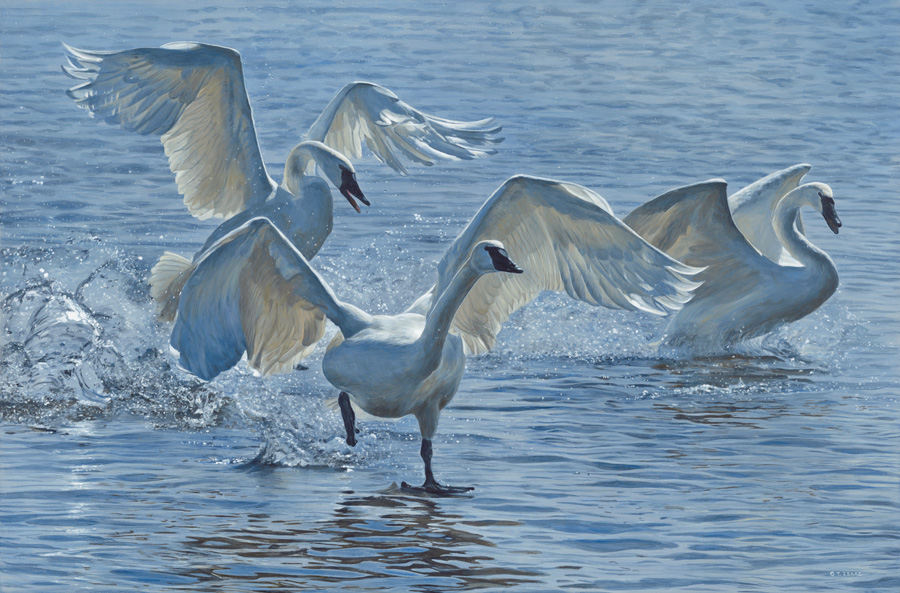Wings on Water – Swans by Terry Isaac