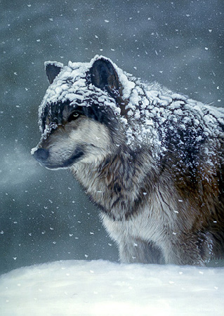Winter Coat – Gray Wolf by Terry Isaac