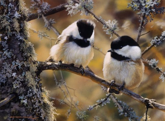 In the Black – Black Capped Chickadees by Carl Brenders