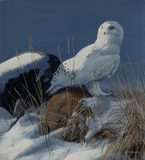 Snowy Owl by Terry Isaac