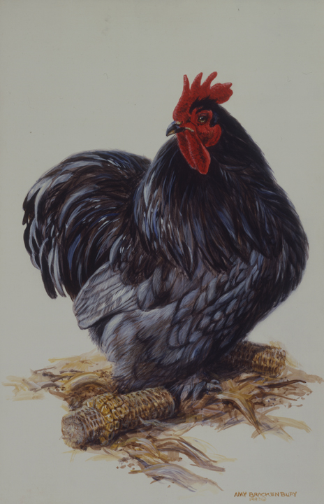 Rooster by Amy Brackenbury