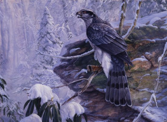 A Winter's Tale – Northern Goshawk by Laura Mark-Finberg