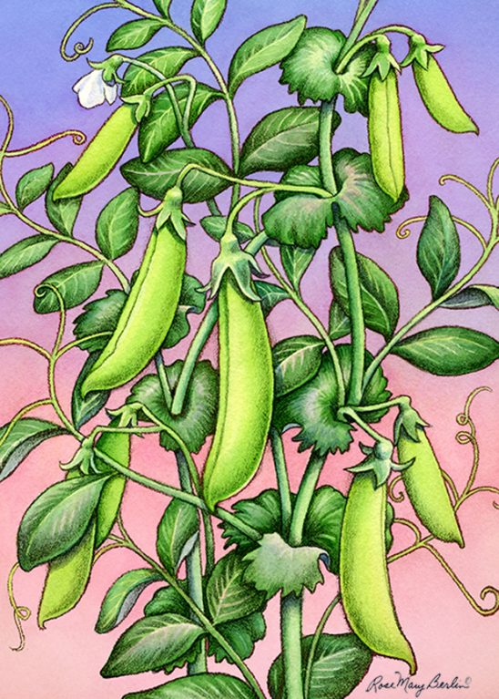 Garden – Snap Pea by Rose Mary Berlin