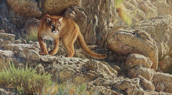 Mountain Lion by Adam Grimm