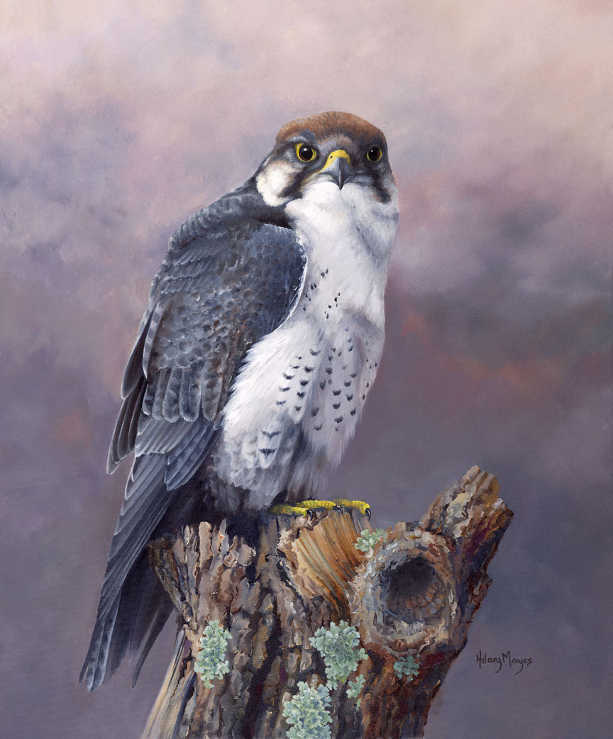 Wildlife – Lanner Falcon by Hilary Mayes