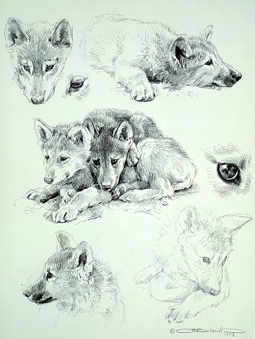 Wolf Sketches by Carl Brenders