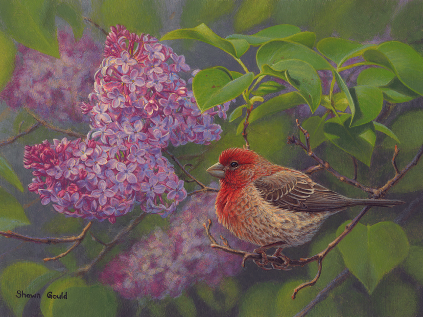 House Finch and Lilac by Shawn Gould