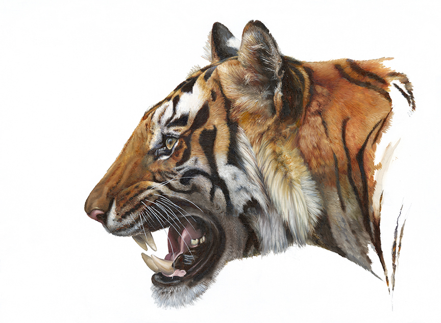 Wildlife – Male Tiger on White by Hilary Mayes