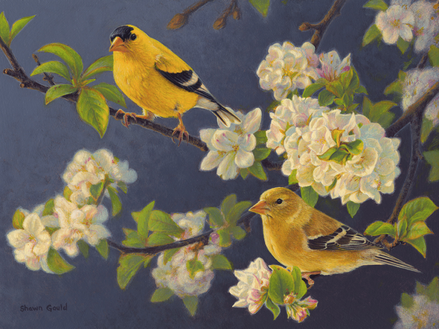 Orchard Finches by Shawn Gould