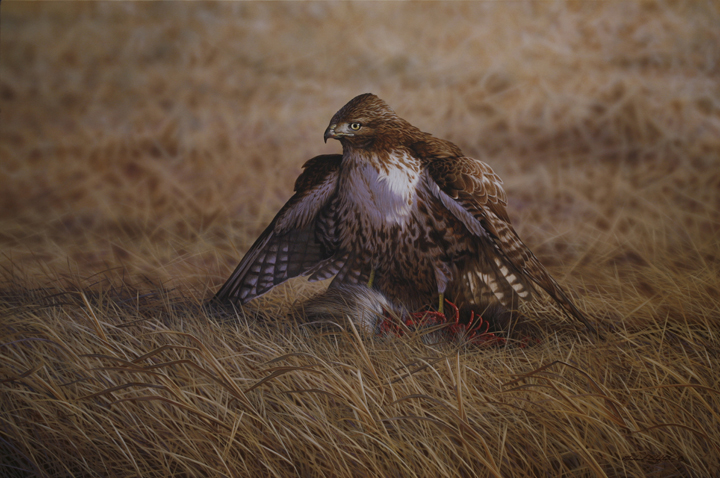 Opportunity – Red Tailed Hawk by Richard Clifton