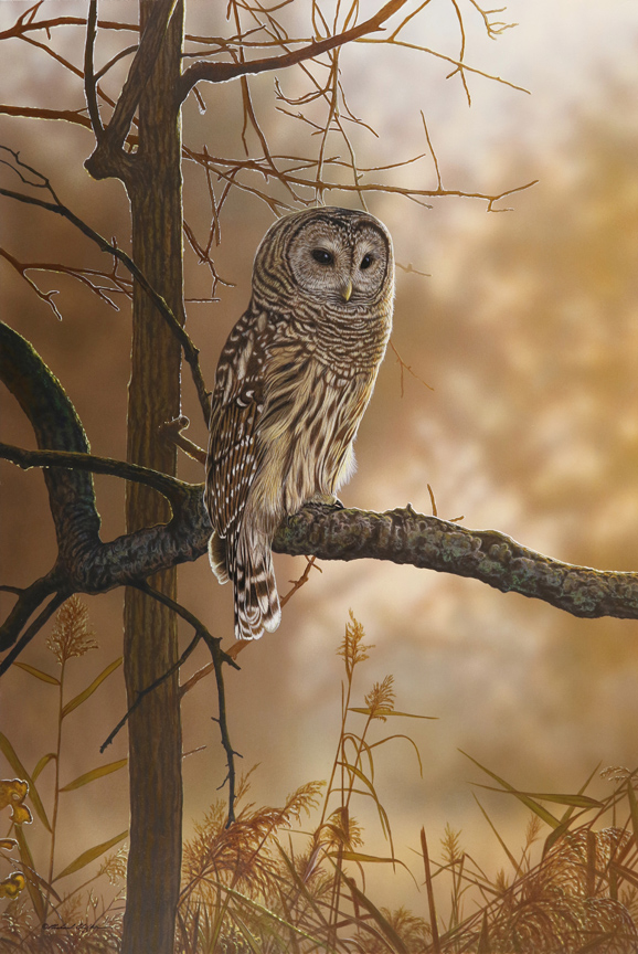 Out of the Shadows – Barred Owl Richard Clifton