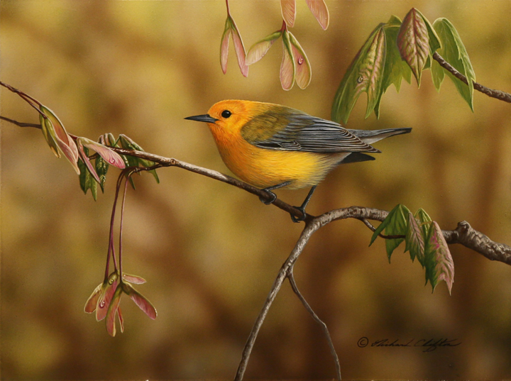 Prothonotary Warbler by Richard Clifton