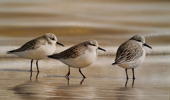Sanderlings by Richard Clifton