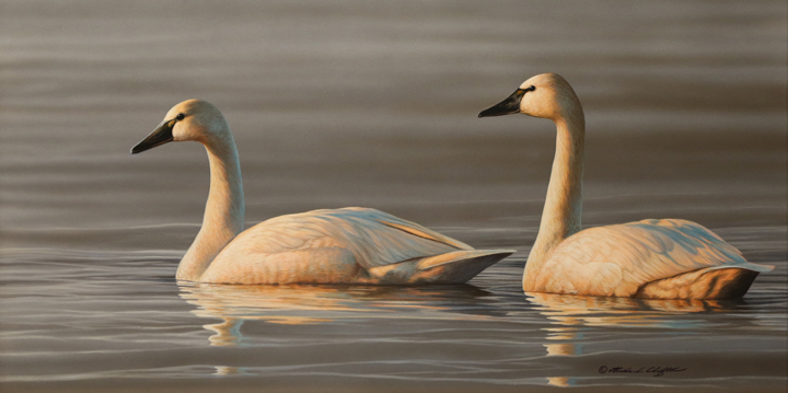 Tundra Swans by Richard Clifton