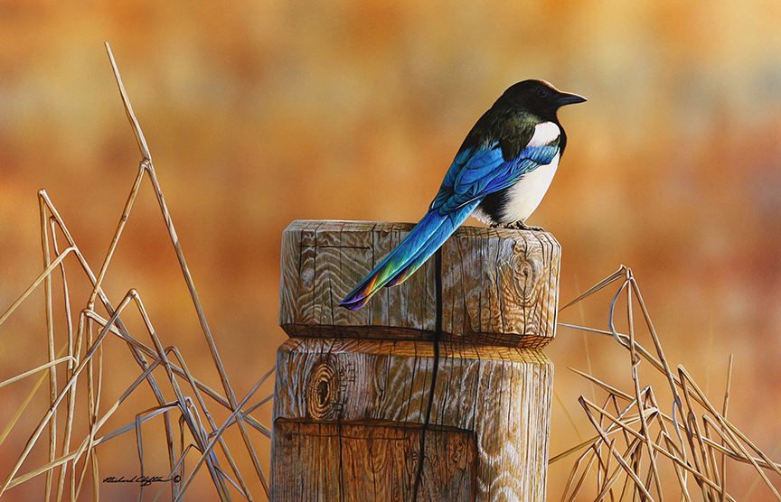 Western Color – Magpie by Richard Clifton