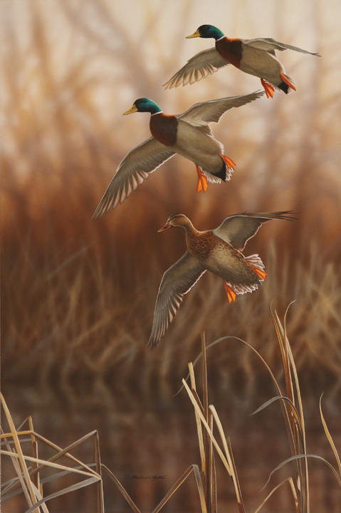 Whisper Wind and Wing – Mallards by Richard Clifton