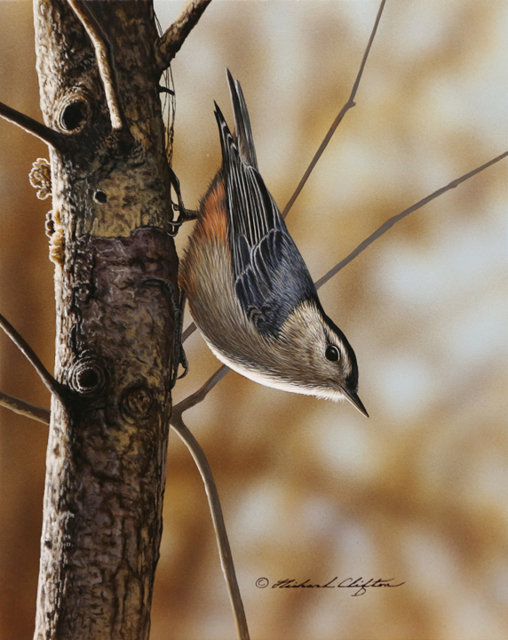 White-Breasted Nuthatch by Richard Clifton