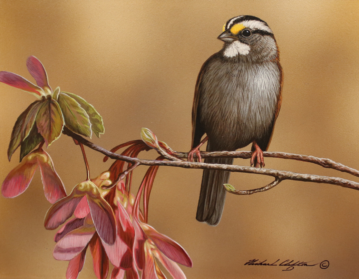 White Throated Sparrow by Richard Clifton