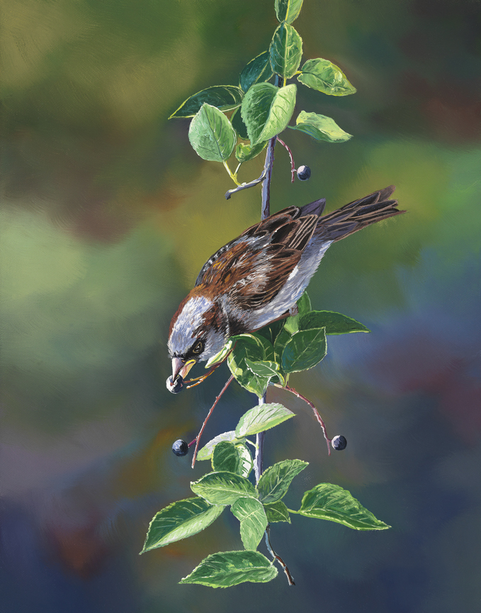 House Sparrow by Andrew Kiss