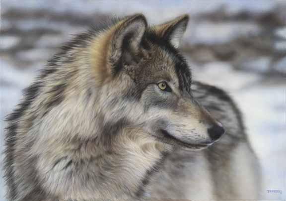 TD – Alpha – Timber Wolf © Tim Donovan