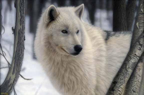 TD – Arctic Prince – Arctic Wolf © Tim Donovan
